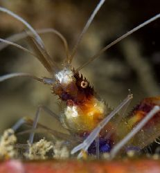 Banded Coral Shrimp. 60mm lens from Hawaii by James Kashner