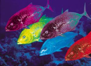 Makerels are very Colourful, taken in the Red Sea by Walter Lehmann