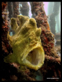 Yawning Frog Fish - standard Canon, no lenses, no strobes, no flash, no photoshop...NO CROPPING!