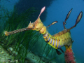Weedy Seadragon (Phyllopteryx taeniolatus) at Flinders Pier, Victoria. From this angle it looks like it would make a good catapault. ;-)