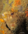 Tompot Blenny from Swanage Pier, UK.  Finally getting time to do a spot of UK diving and was really proud to conquer my dream of snapping one of these chappies!  Canon 980 with Canon Housing, Macro Mode and Camera's own flash