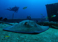 Southern Stingray taken his NAP, thanks to Nicolai Ruprechter  show us.