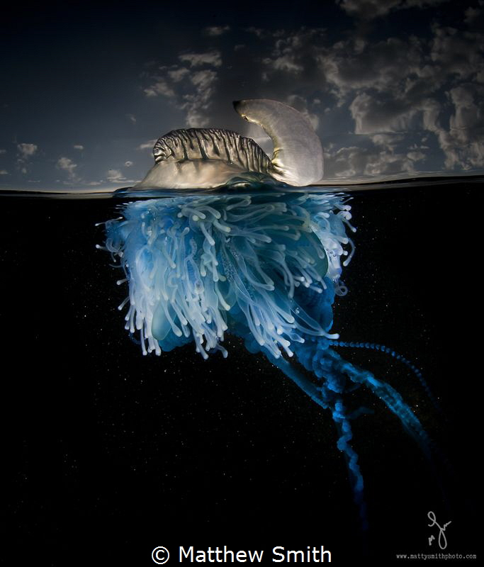 The bluebottle cnidaria is an amazingly beautiful colony of creatures. I wanted to demonstrate this with careful lighting.