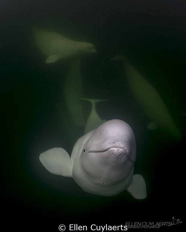 Belugas in the wild where they should be! Hudson Bay, Churchill, Canada