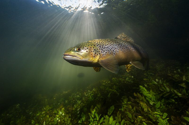Brown Trout on the iconic UK chalk stream - the river   Test