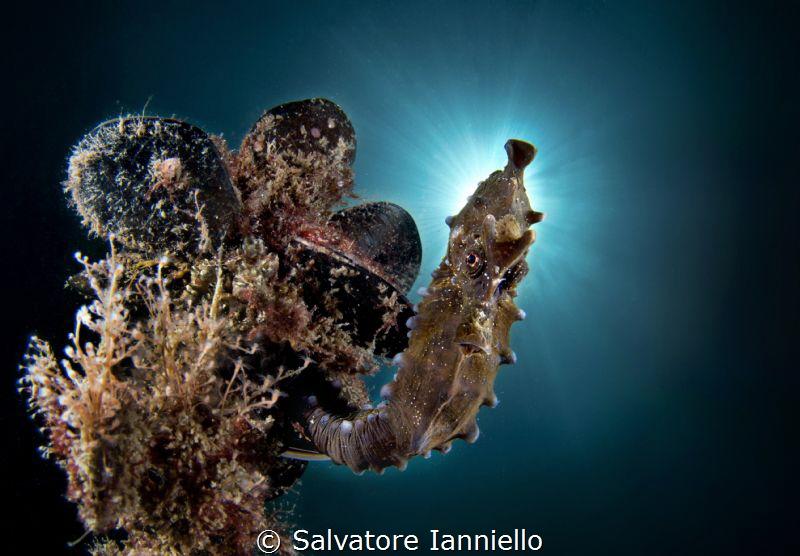 St. seahorse
