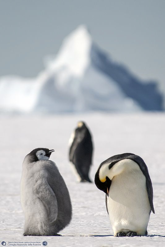 The emperor penguin family on the Antarctic sea ice (Ross Sea - Baia Terra Nova - Antarctica - PNRA- ISMAR-CNR)