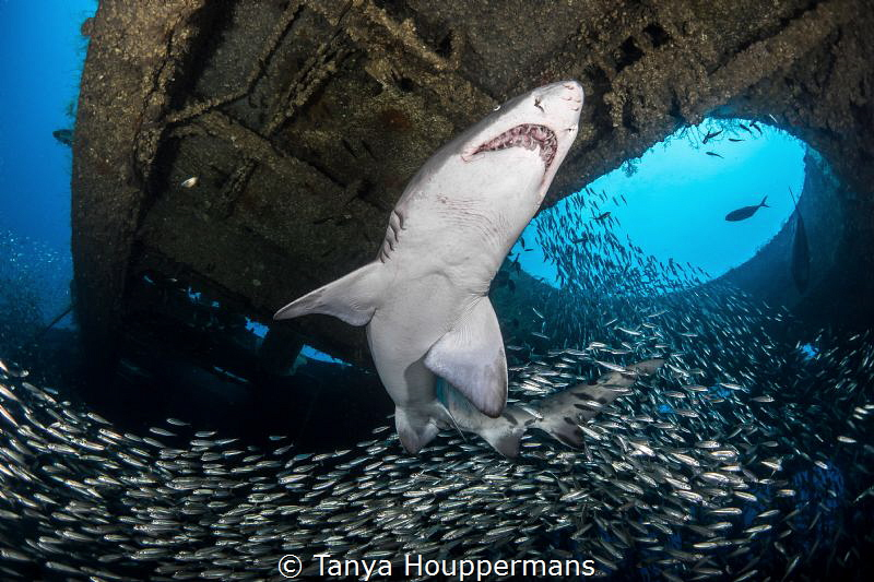 'Ebb and Flow' - A river of bait fish swirl past a sand tiger shark in the wreck of the Aeolus off the coast of North Carolina