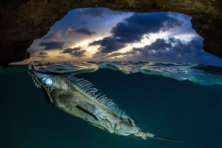 Overunder shot. A green Iguana takes a breath after an underwater incursion in a semi-submerged cave on the island of Bonaire, Dutch Caribbean. Green Iguanas are everywhere on the island, they are part of every house's garden and...pools...