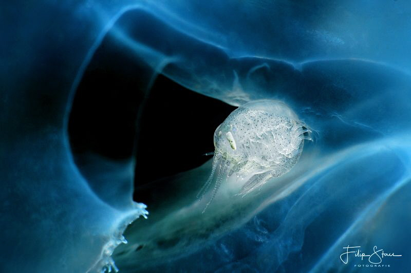 A Big-eye amphipod (Hyperia galba) is living inside a Common jellyfish (Aurelia aurita)