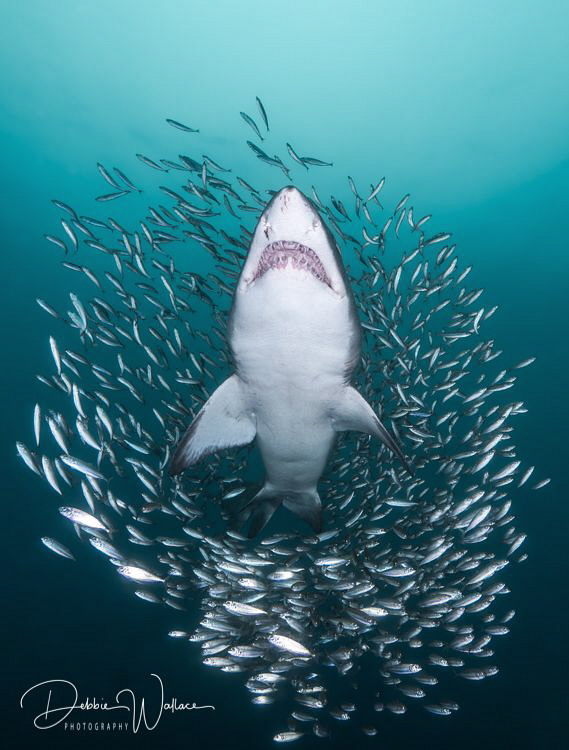 """Out of the pack"" - I really had this image or something very similar to it in my mind during this particular dive with the sand tiger sharks, when I turned my head to see it in actuality!!  Lucky me!!"