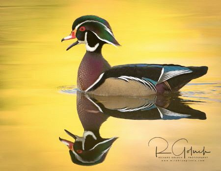 Reflection of a Wood Duck drake.