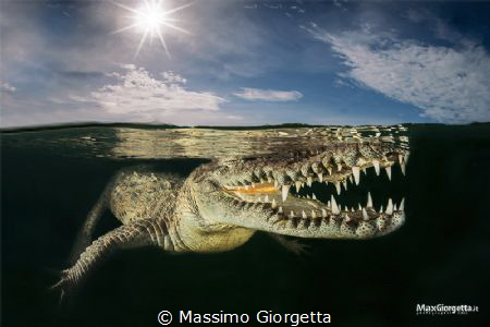 inside a Mangrove lived american crocodile