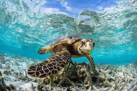 Hawksbill Turtle in a shallow lagoon