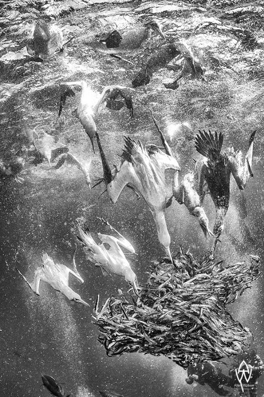"The Cape Gannet"" - A B&W rendition of one of my favourite sardine run images taken off shore of the wild coast, Transkei, Port St. Johns, South Africa. The Cape Gannet is truly an amazing bird and has adapted to its ocean life like no other."