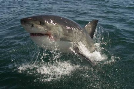 Great White Shark - taken whilst cage diving with these wonderful animals off Gansbaai. Taken with Konica Minolta Dimage A200 prefocused and with patience!
