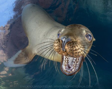 Juvenile California Sea Lion coming in for a chew on the camera