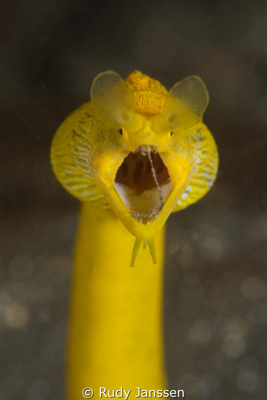 ribbon eel close up