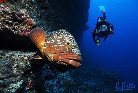 "Big cod at the ""Bajón del Río"", El Hierro, Canary Islands (one of the winning pics of the 10th Open Fotosub Isla de El Hierro, october 2006)"