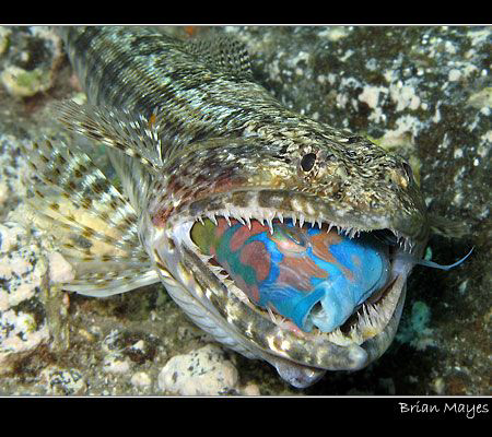 From Tenerife, one of a sequence of photos showing a Lizardfish catching and swallowing an Ornate Wrasse alive. The photos had to be taken in between bouts of thrashing by the Lizardfish. The whole sequence can be seen on my Flickr site.