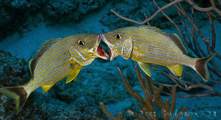 Kissing fish? Two blued striped grunts trying to establish dominance over each other.  Cozumel Mexico.  Canon 20D and Sigma 17-70.