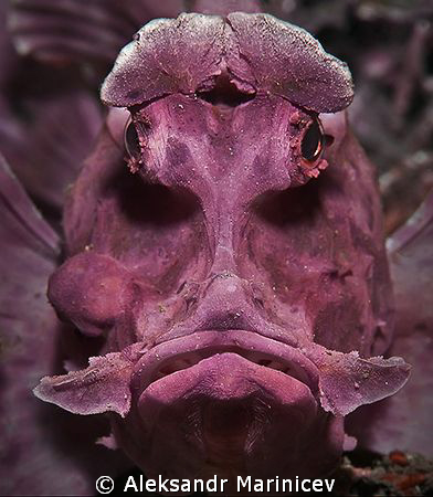 Rhinopias eschmeyeri (Rhino-fish), Lembeh strait