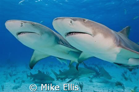 Diving with the m/v Dolphin Dream at Tiger Wreck in the Bahamas. Lemon sharks by the dozen