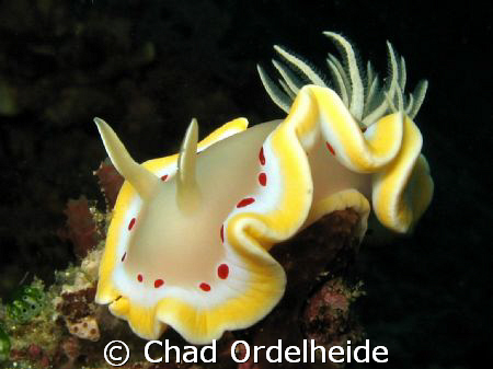 Glossodoris cruenta. A great find in the last few minutes of our last dive in Lombok.