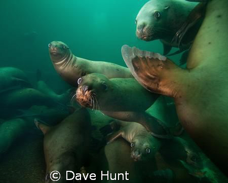 The class clowns.  Sea lions at Hornby Island, BC, Canada