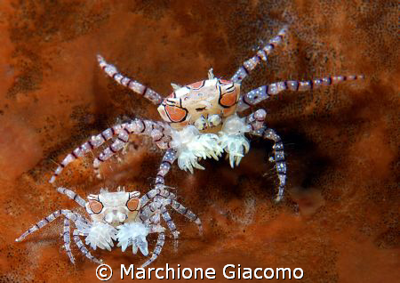 Boxer crab mumy and child Nikon D200, 60 micro,Twin strobo Manado 2008