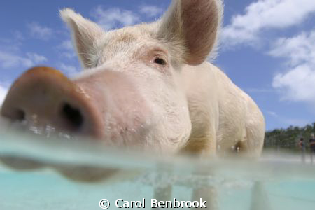 This swimming pig came out to meet us in our tender at Big Majors near Staniel Cay in the Bahamas, the crew from the boat are standing on the beach behind.