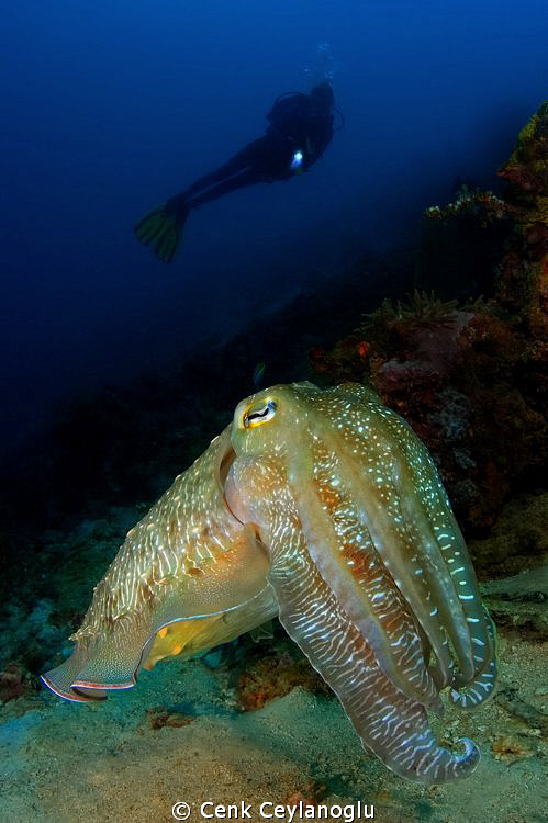 """Super model"" Giant cuttle fish"