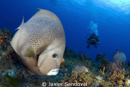 Cozumel wall dive, a gray angelfish checking my camera out