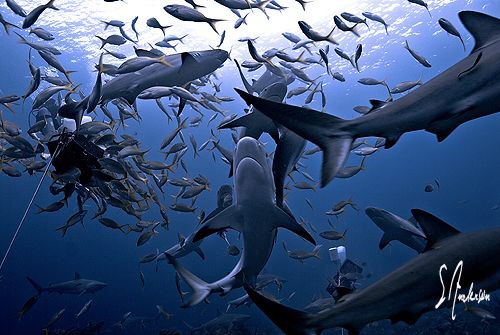This image was taken while we waited for the arrival of Tiger Sharks. Very exciting dive! Lucky I was to watch the action.