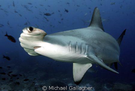 Hammerhead, Galapagos, up close!