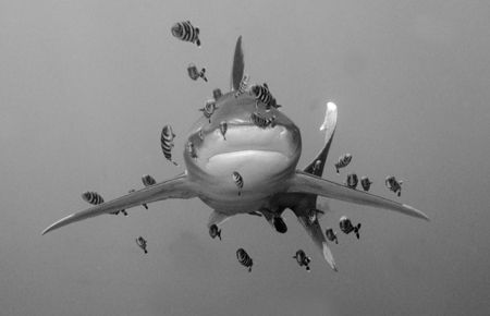 Oceanic White tip with Pilot Fish. Taken at Daedelus Reef, Egyptian Red Sea in November 2004. Image taken while snorkelling as the shark circled the diveboat.