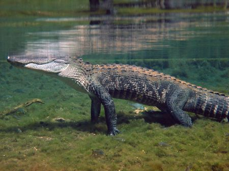 Alligator in Santa Fe River/Ginnie Springs. Photo taken while free diving.