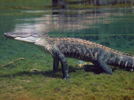 Alligator in Santa Fe River/Ginnie Springs. Photo taken while free diving.
