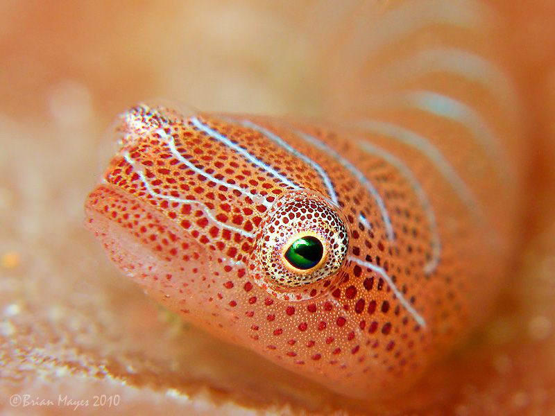 """""""OK, I'm ready for my close up.""""  .................Tiny 15mm Western Cleaner Clingfish (Cochleoceps bicolor)"""