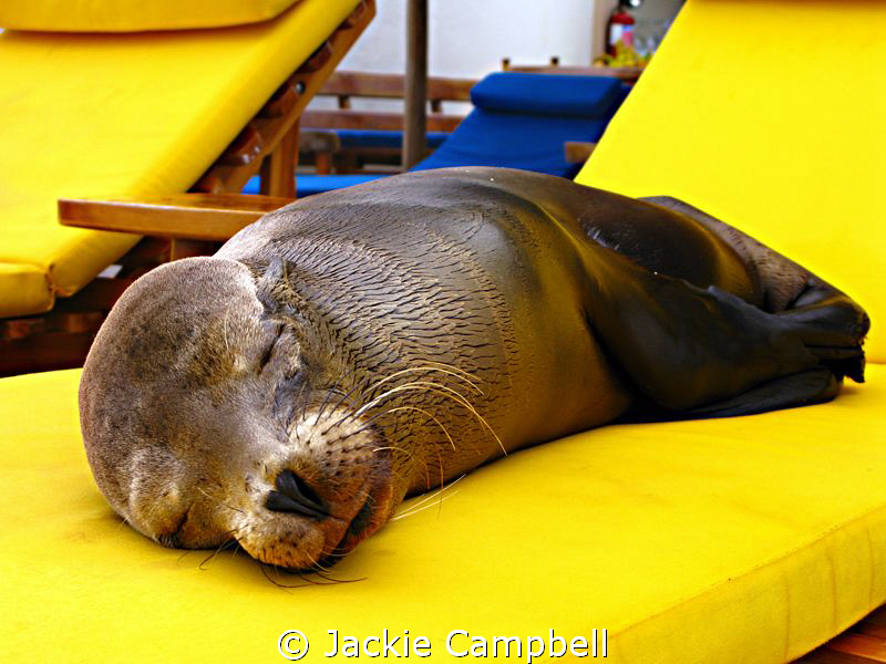 Feeling sleepy ? In the Galapagos all the animals are unafraid and come very close to people. This little sea lion was tired of resting on the rocks so thought nothing of using one of the sun loungers instead !!!