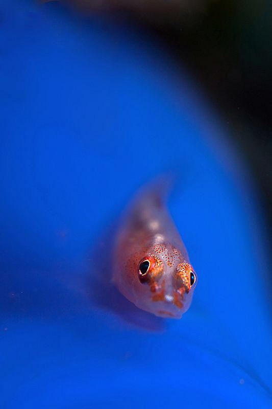 Goby on tunicate. Seraya, Bali