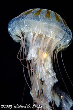 Jelly Fish in Panama City Florida taken with a Canon 20D 100mm lens and dual strobes.