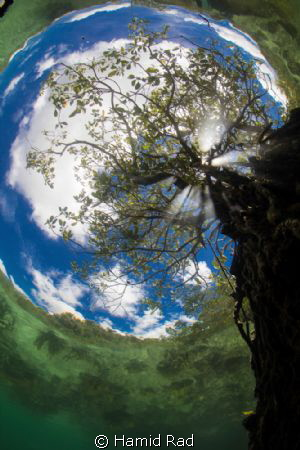 The Passage in Raja Ampat. A tree growing in shallow water mangrove.