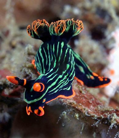 Nudi. Cannon 10d Lembeh. on the beatiful wreck