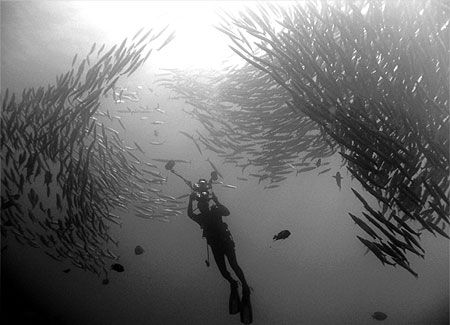 diver photographing a school of barrcuda at malpelo island, colombia
