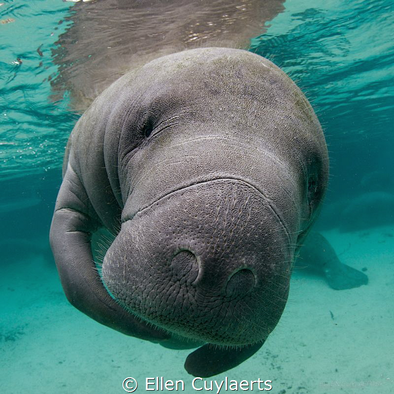 Portrait of a manatee