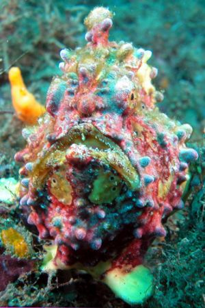 Lembeh Streit, north Sulawesi. I love this frog fish! Nikon Coolpix 5000 in Sea & Sea housing and two strobes.