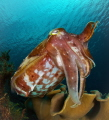 Cuttlefish posing. After several wardrobe changes, the red and white won out over the yellow outfit