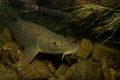 Barbel (Barbus barbus) in a small Czech river