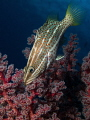 Grouper with softcoral